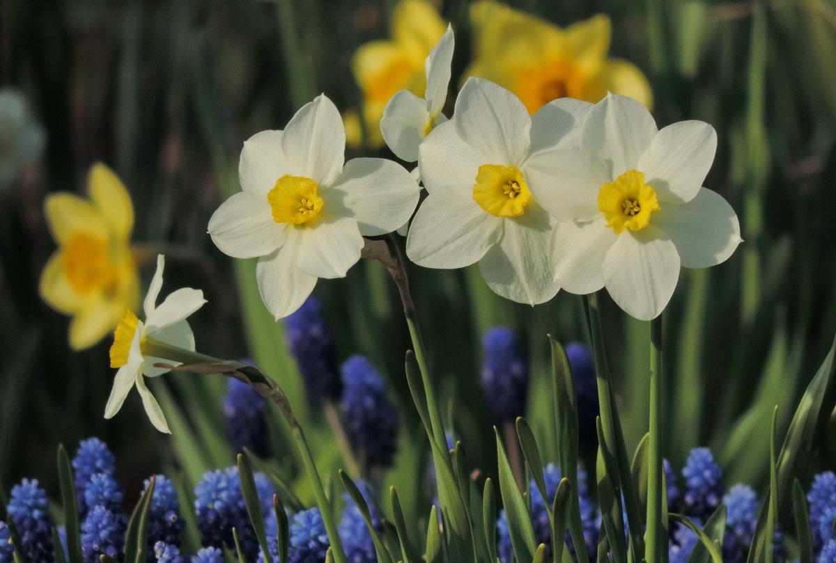 котором картинки весенние цветы нарциссы часть времени