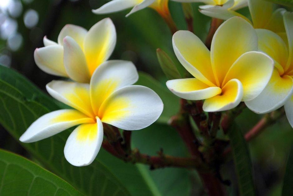 Цветы франжипани в алмате купить, цветов саратове адреса