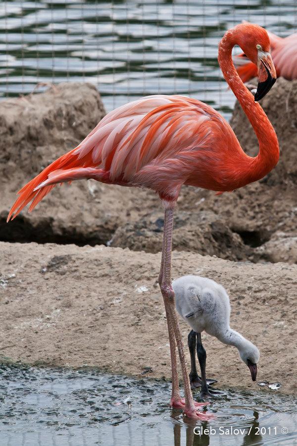 фламинго из красной книги россии фото животные
