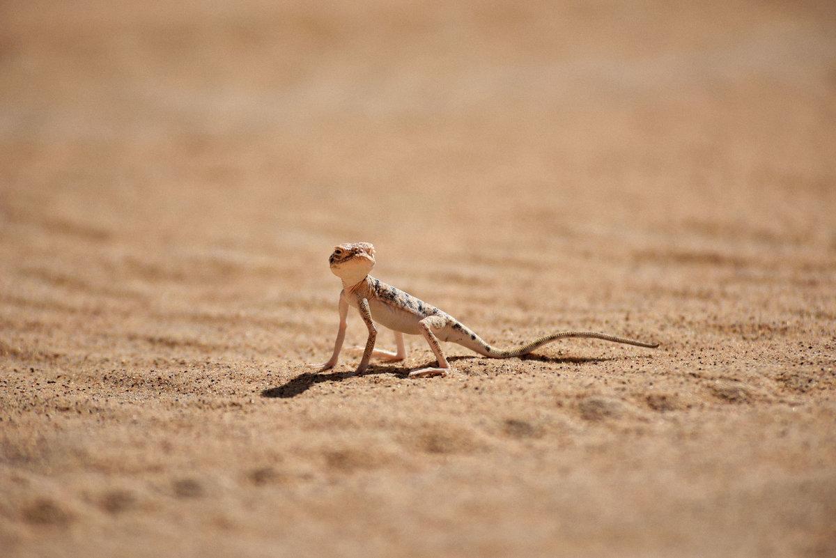 Животные песчаной пустыни картинки