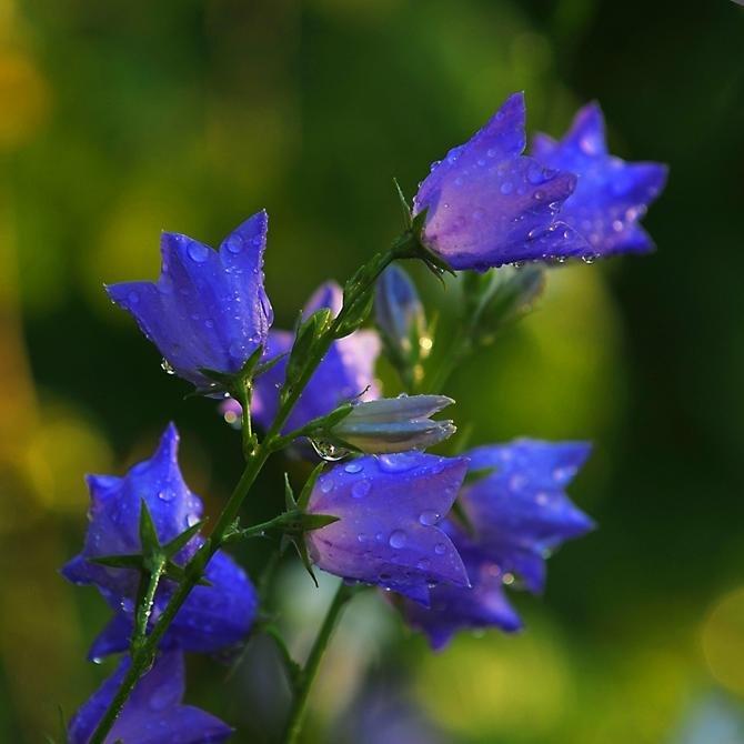 Картинки цветы колокольчики красивые