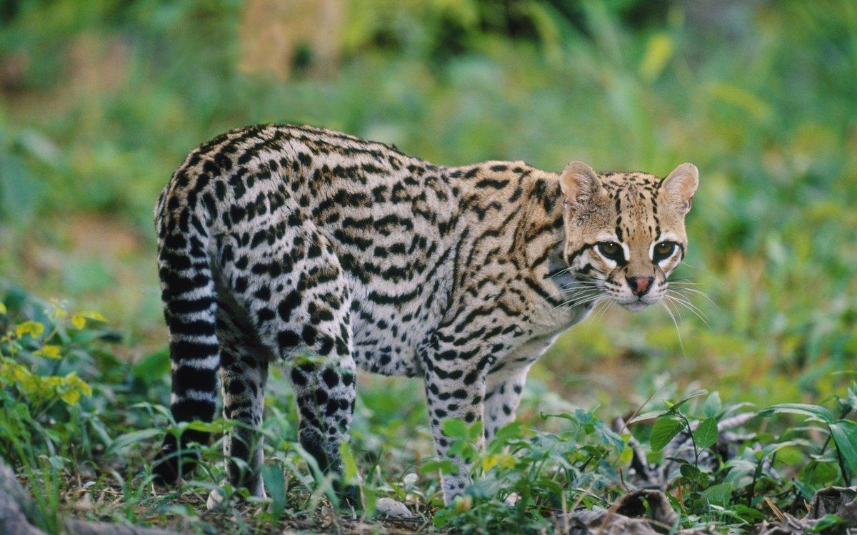 Фото представителей кошачьих хищников