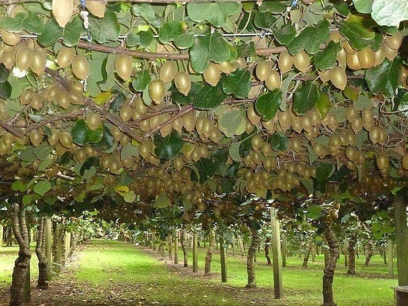 дерево киви в картинках звукоизоляции важно позаботиться
