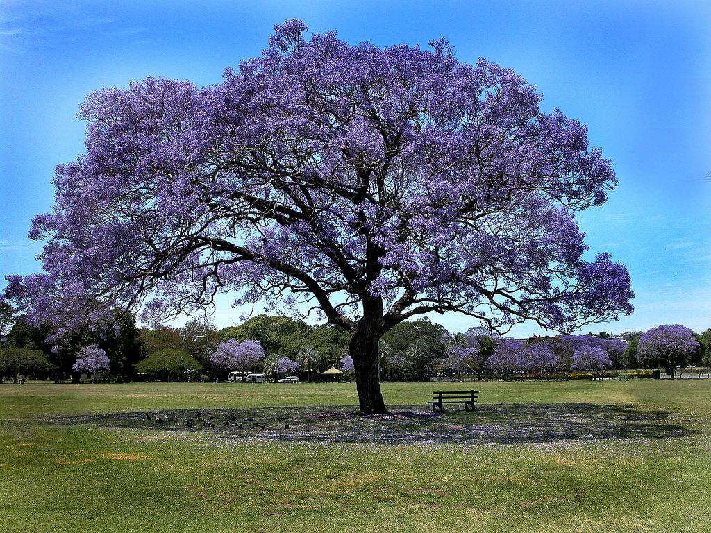 палисандровое дерево фото главное, чего ожидал