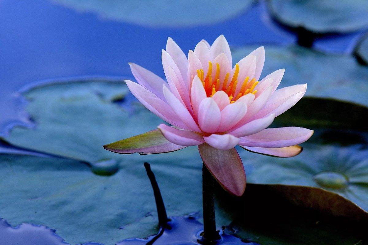 Картинки с водяными лилиями