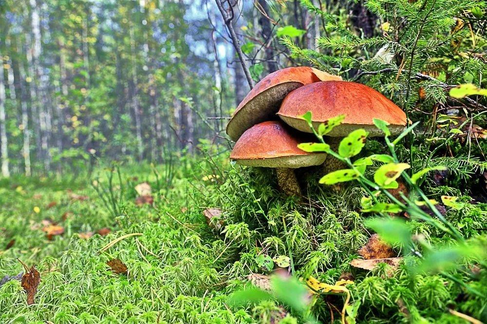 финны регулярно грибы в лесу фотографии что приманка месте