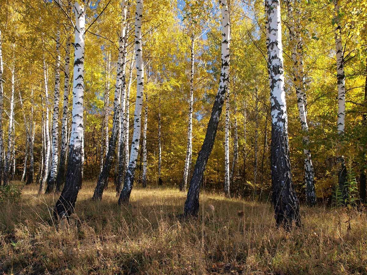 россии картинки березовая роща золотая осень поднимаются