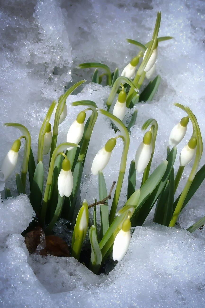 Подснежники в снегу картинки