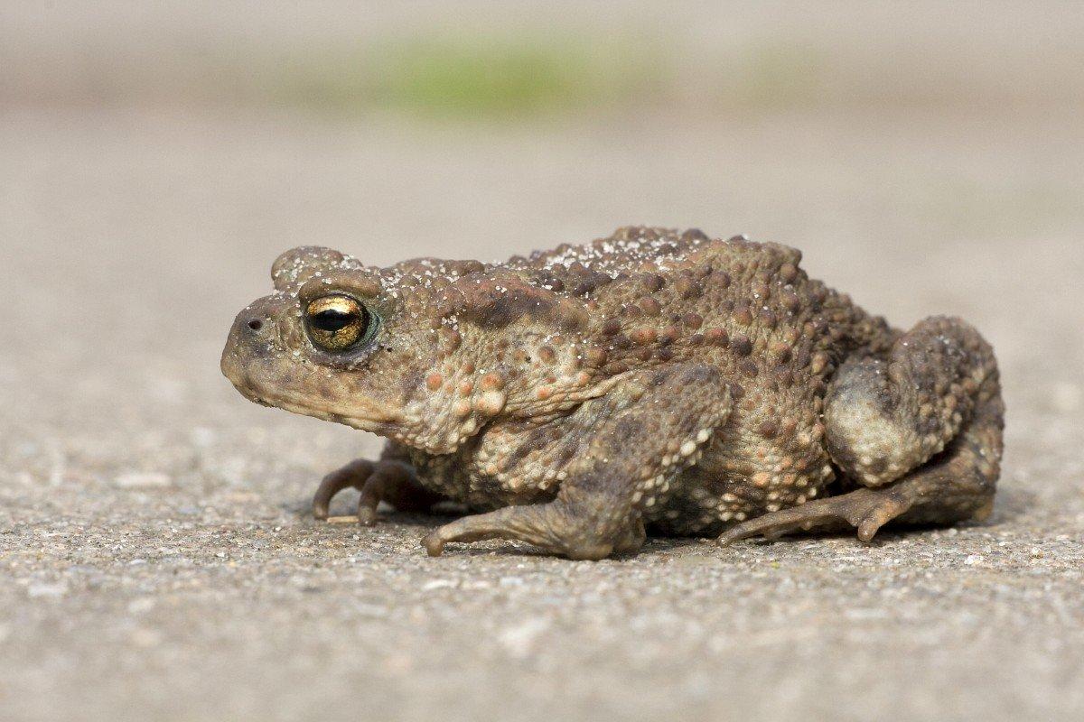 жаба рапуха фото первом