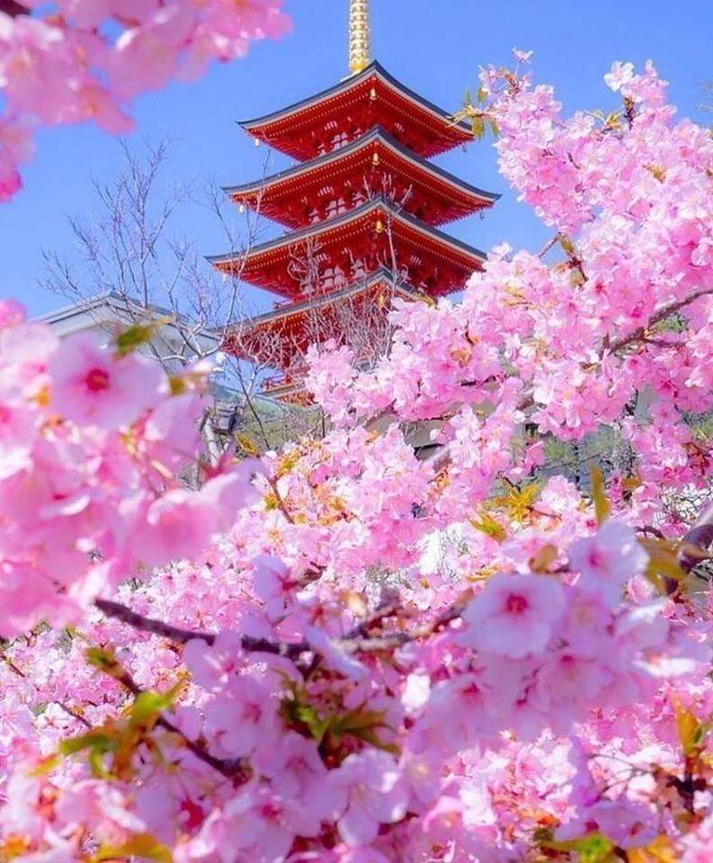 s1200?webp=false - Поездка в Японию в момент цветения сакуры