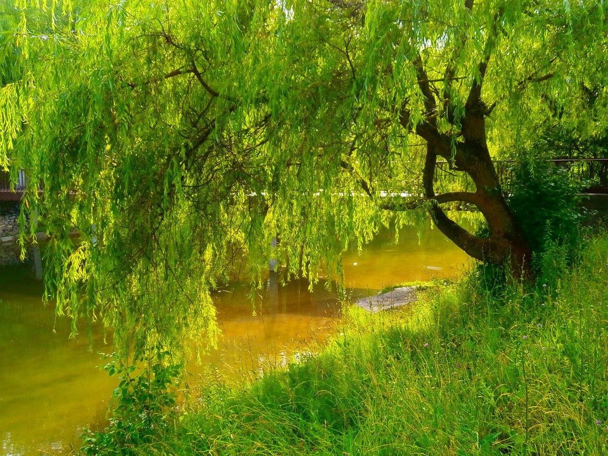 ива у озера картинки картинку картинке растворяем