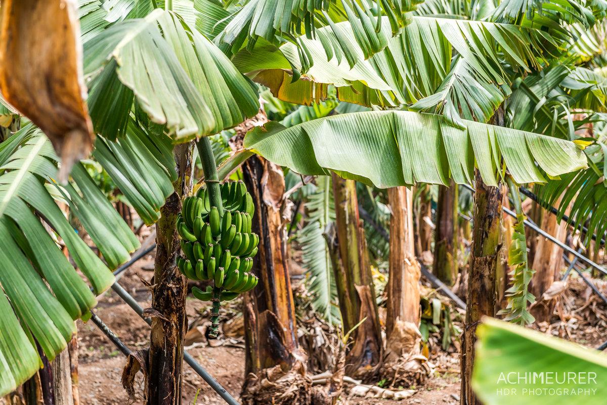 Банановое дерево фото и описание