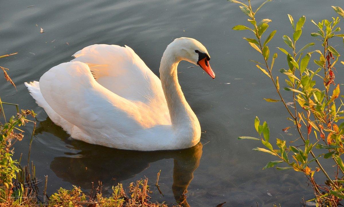 Лебедь картинка птицы
