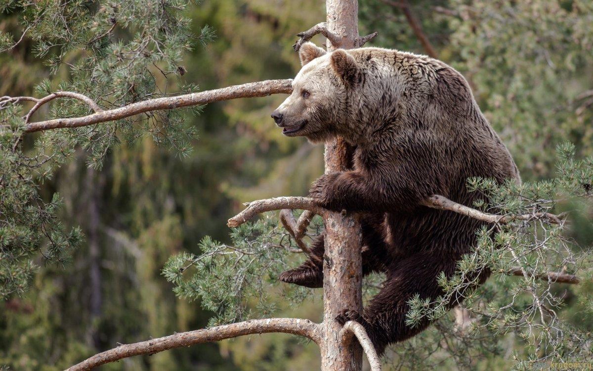 Бурые медведи обитают преимущественно в гусÑ'Ñ‹Ñ Ð»ÐµÑÐ°Ñ Ñ буреломами. Живут они в одиночку, закрепляя за собой территорию от 73 до 414 кв. км.