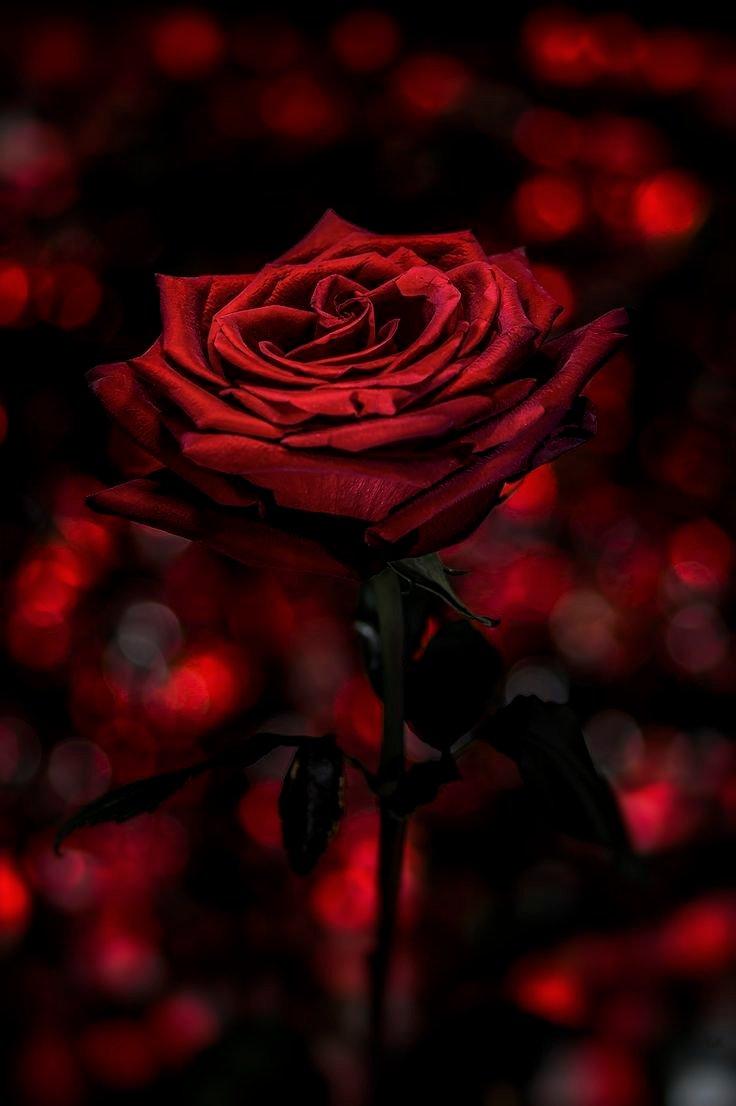 сейчас картинки темные розы на телефон тренировки, чтобы
