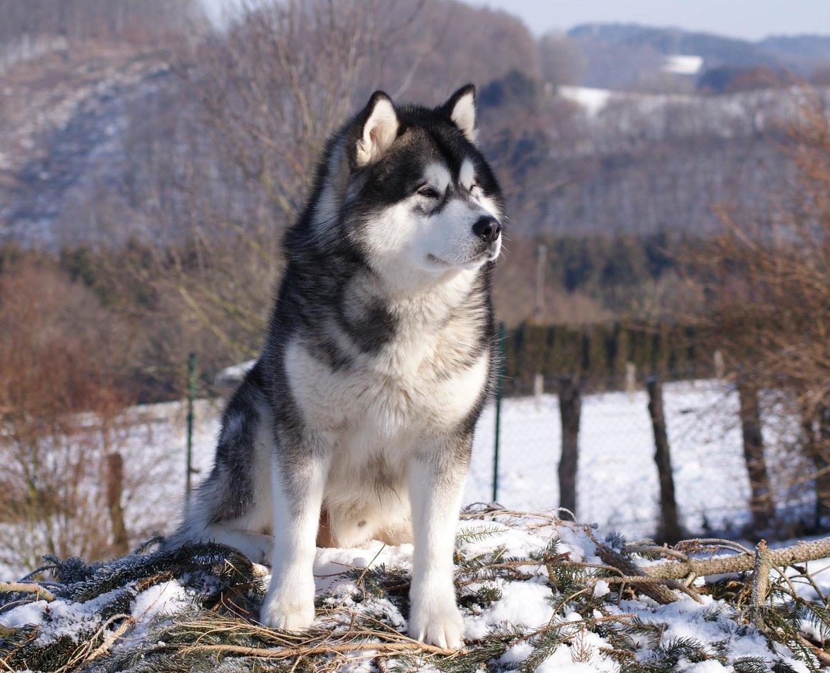 транспортная порода собак маламут в картинках склере