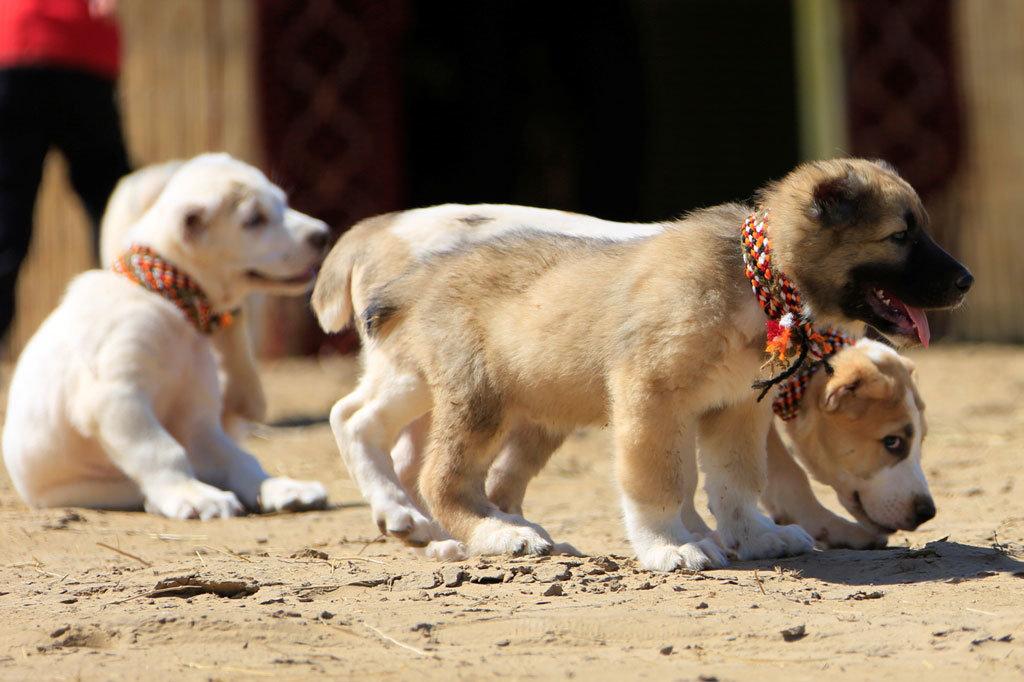 смотреть картинки про собак алабаев месяцем ранее
