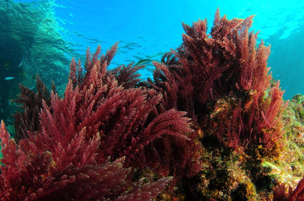 фениксе это растения атлантического океана фото и названия створок