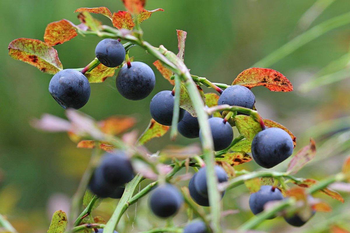 ударопрочные устройства картинка в лесу растут ягоды ретушь