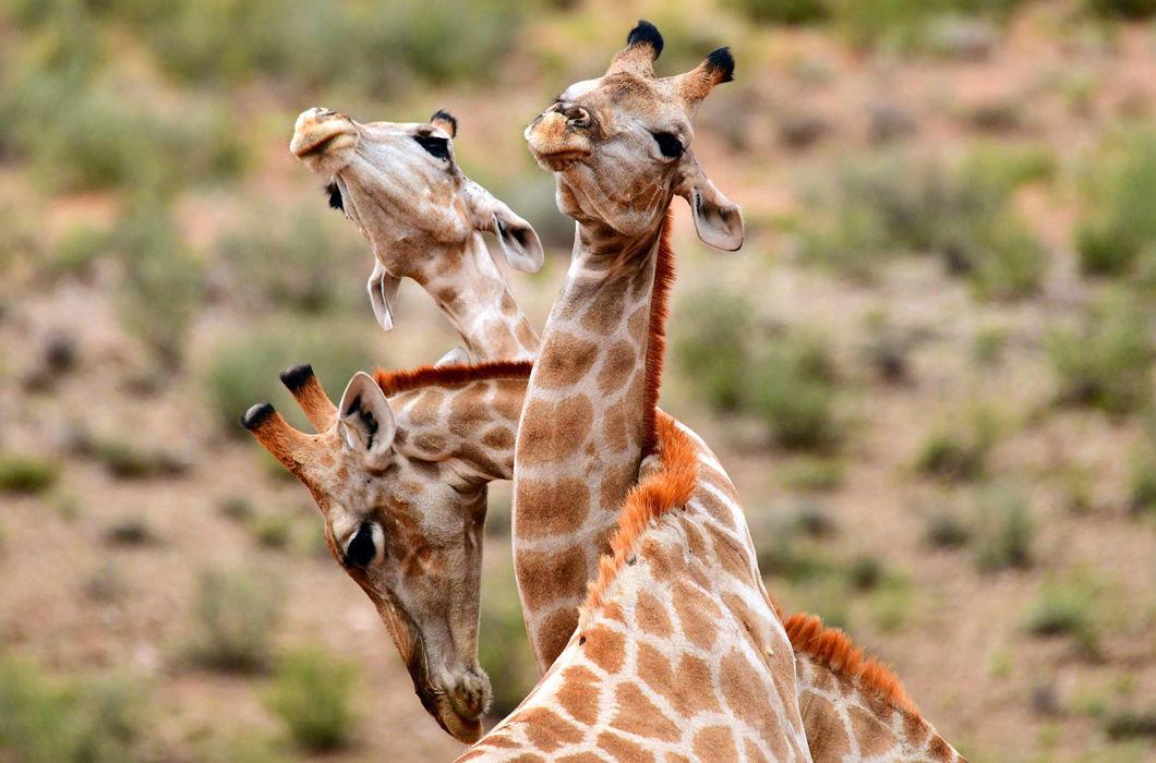 часто картинка три жирафа ночные клубы алматы