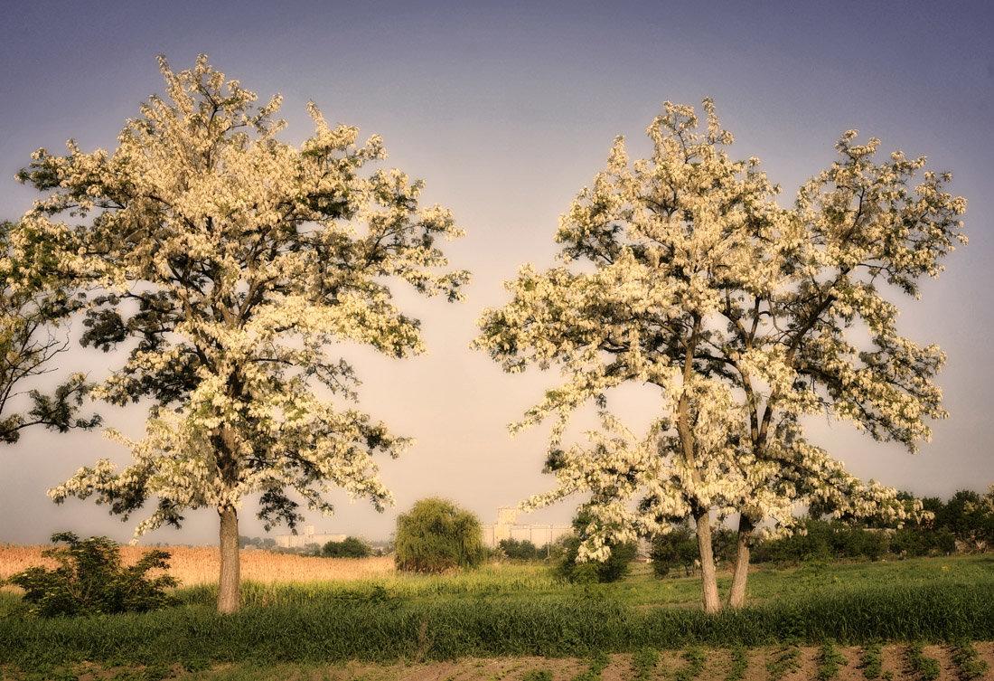 Акация дерево фотографиями