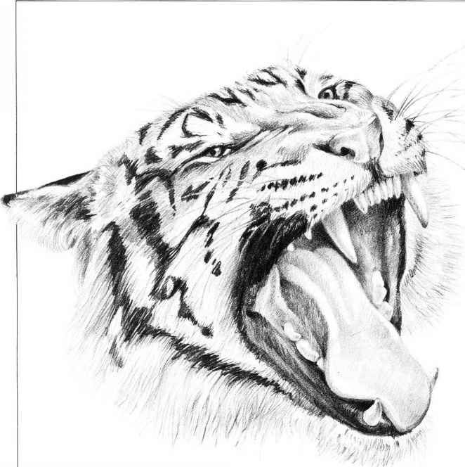 mouth anatomy diagram of the tiger