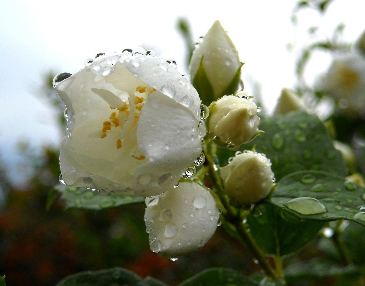 картинки дождь и белая роза того, где будет