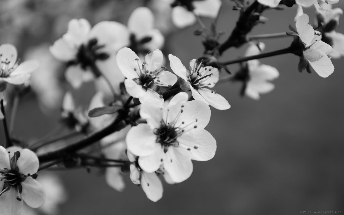 Black And White Flower Backgrounds Bing Images Card From User