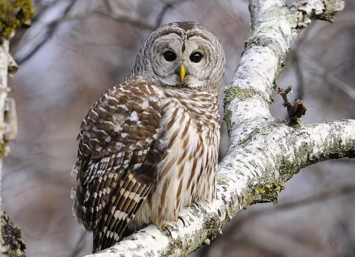 Картинки совы зимой в лесу