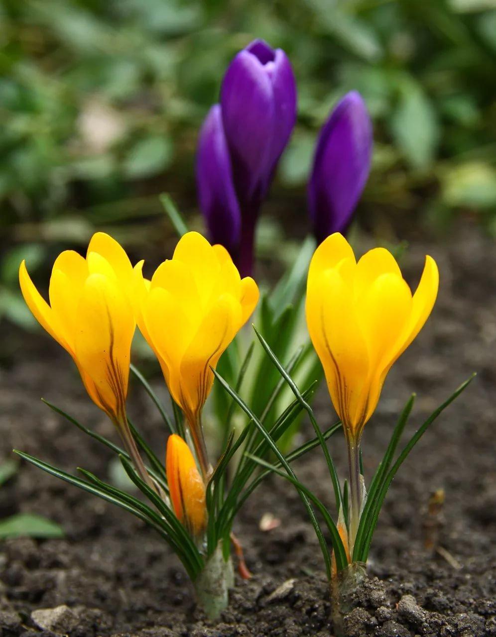 Первоцветы в саду картинках