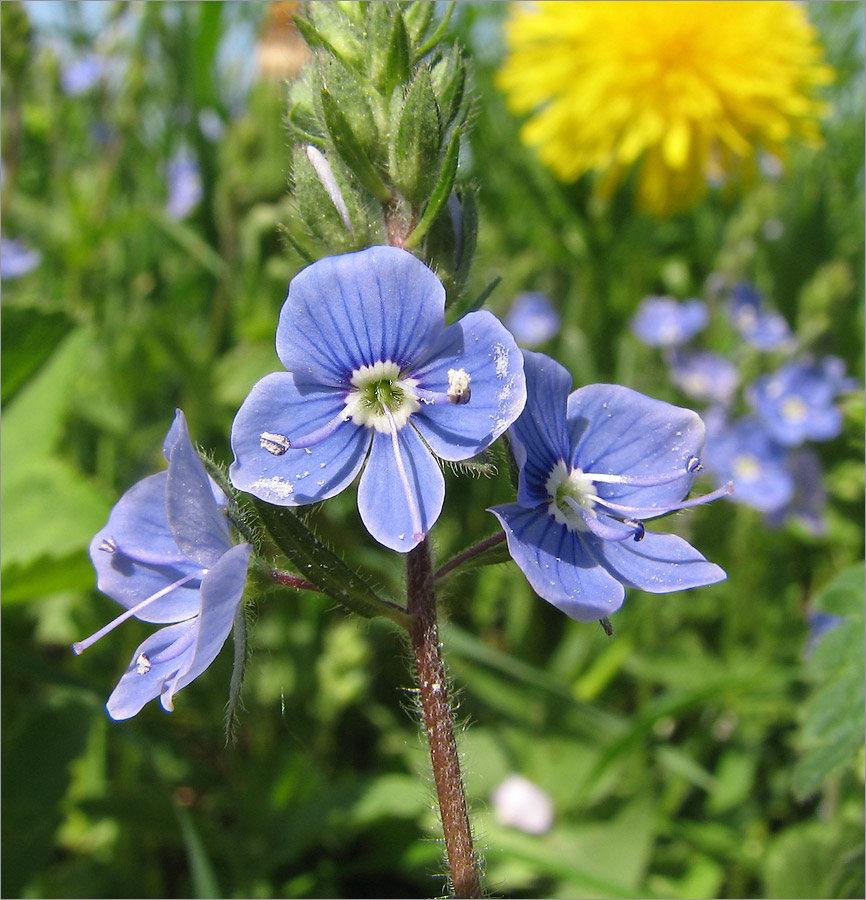 декоративный вероника луговые цветы все сорта фото платежные