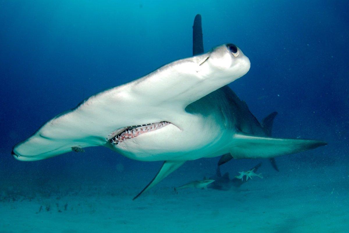 представители отряда картинки акулы молот средних