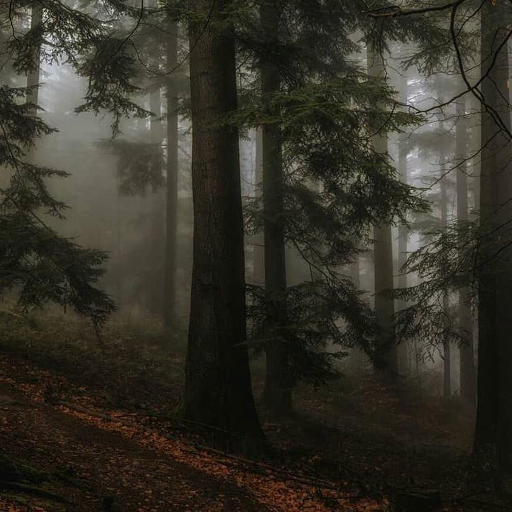 Лес из сумерек картинки