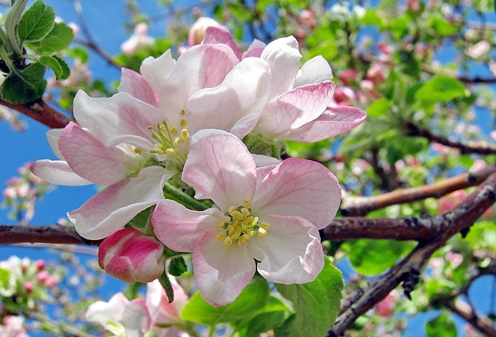 яблоня весенняя картинки