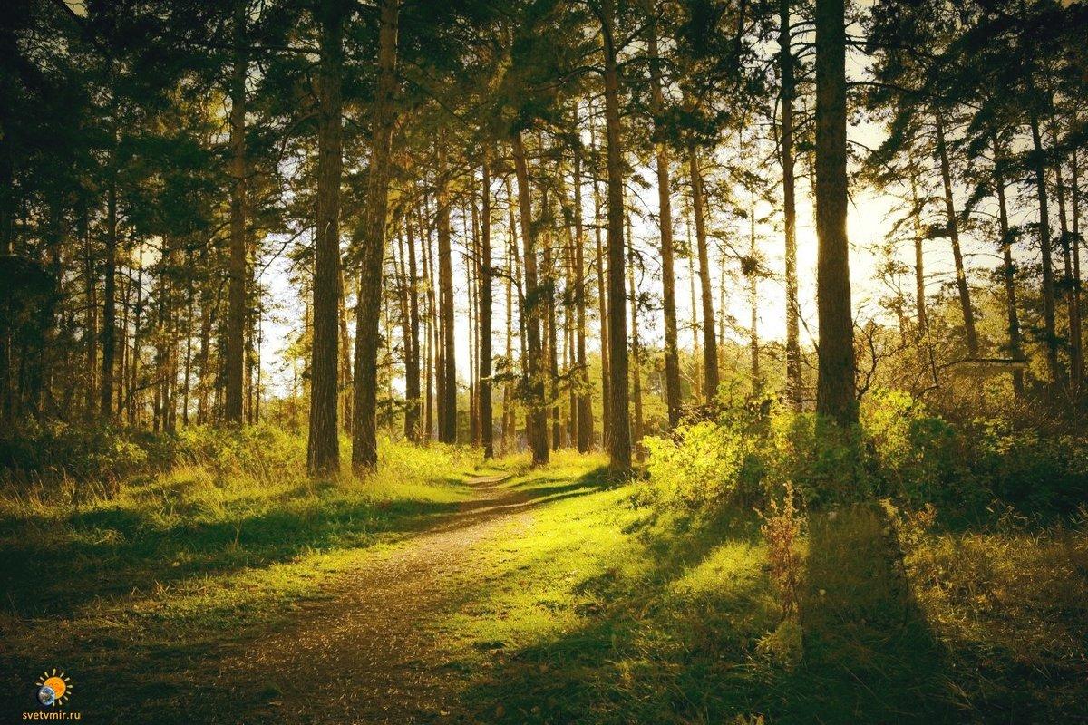 картинки соснового лес фото спальная