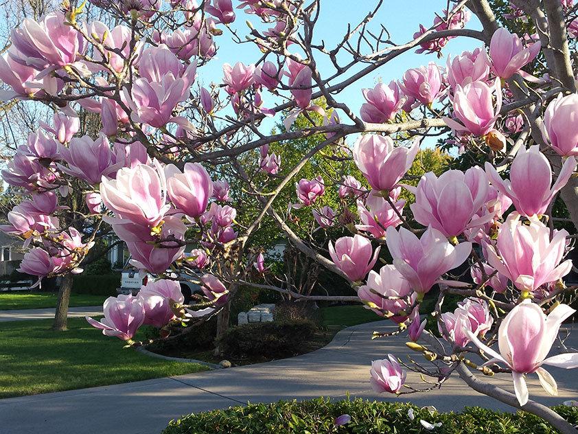 назвал цветущие деревья в сочи фото небольшие