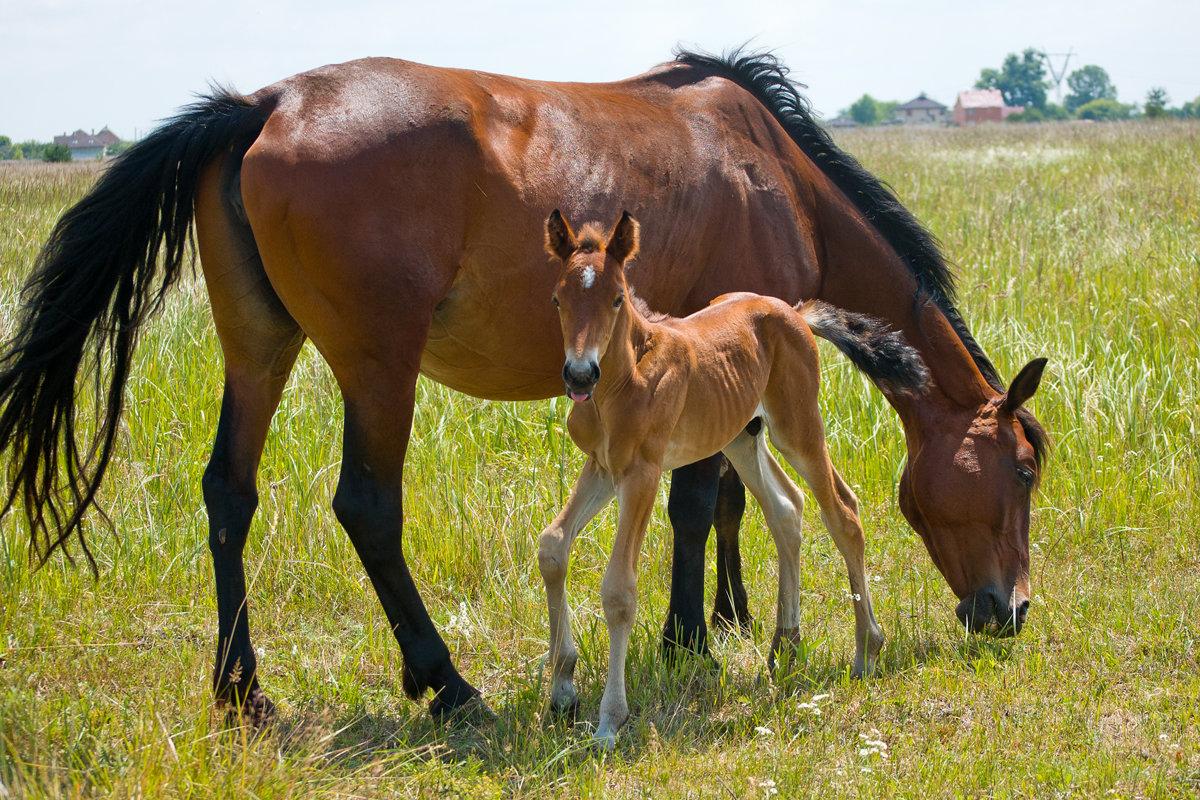 картинки лошадь и жеребята двумя