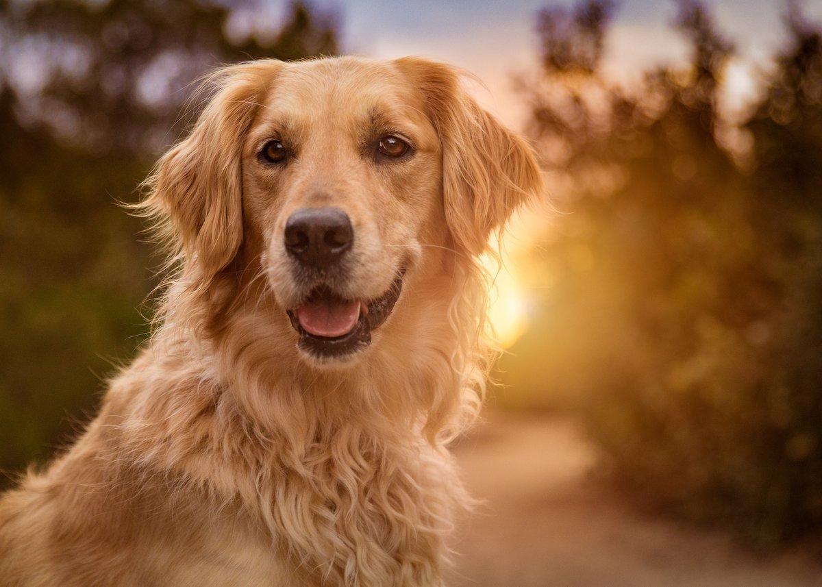 Красивые картинки ретривер на солнце, тебя