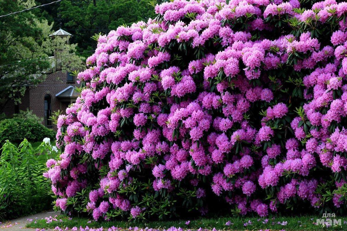 Розовый, рододендроны цветы цена
