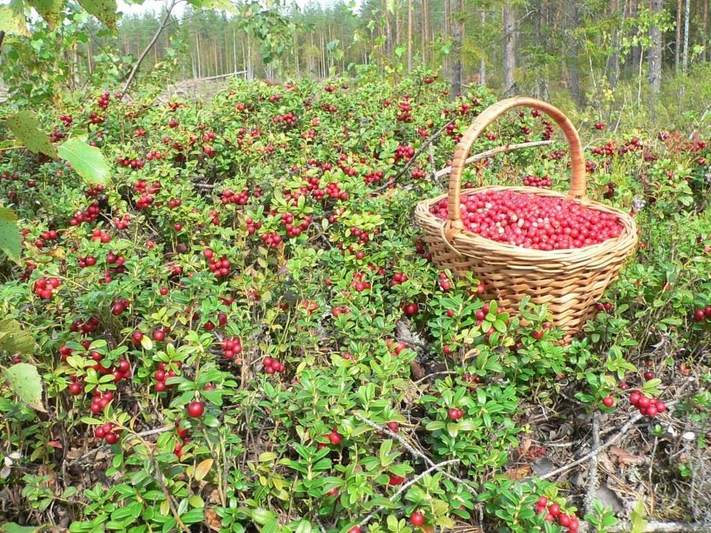 Картинка сбор ягод в лесу