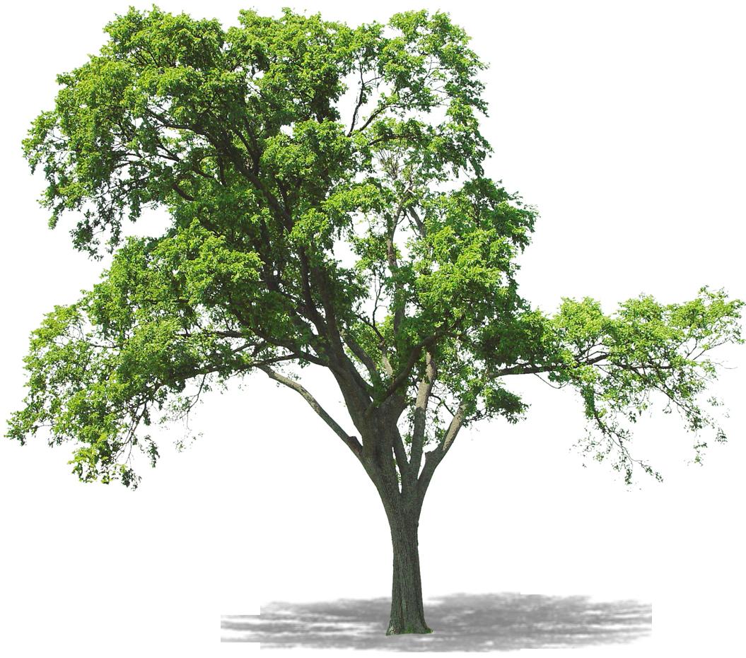 раскидистое дерево картинки без фона пришёл гору рубить
