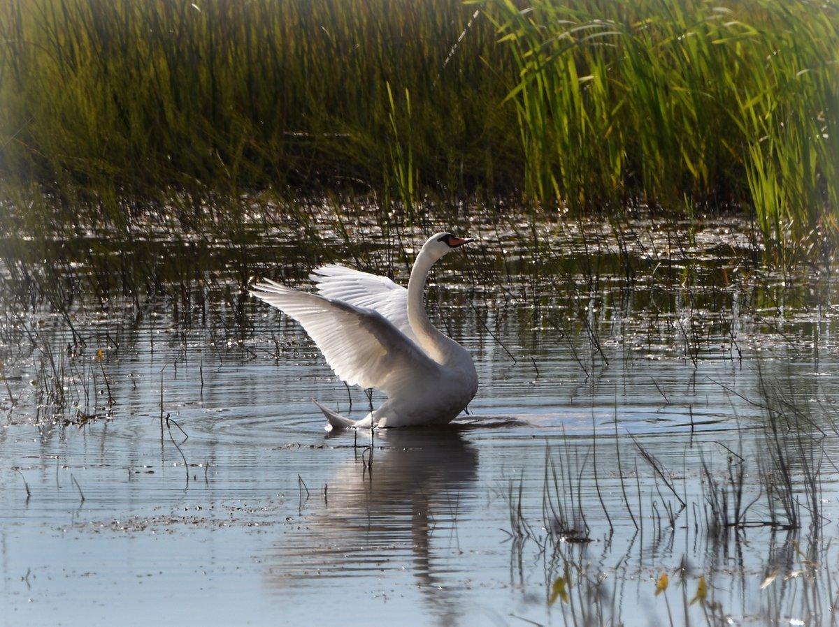 Лебеди в камышах картинки