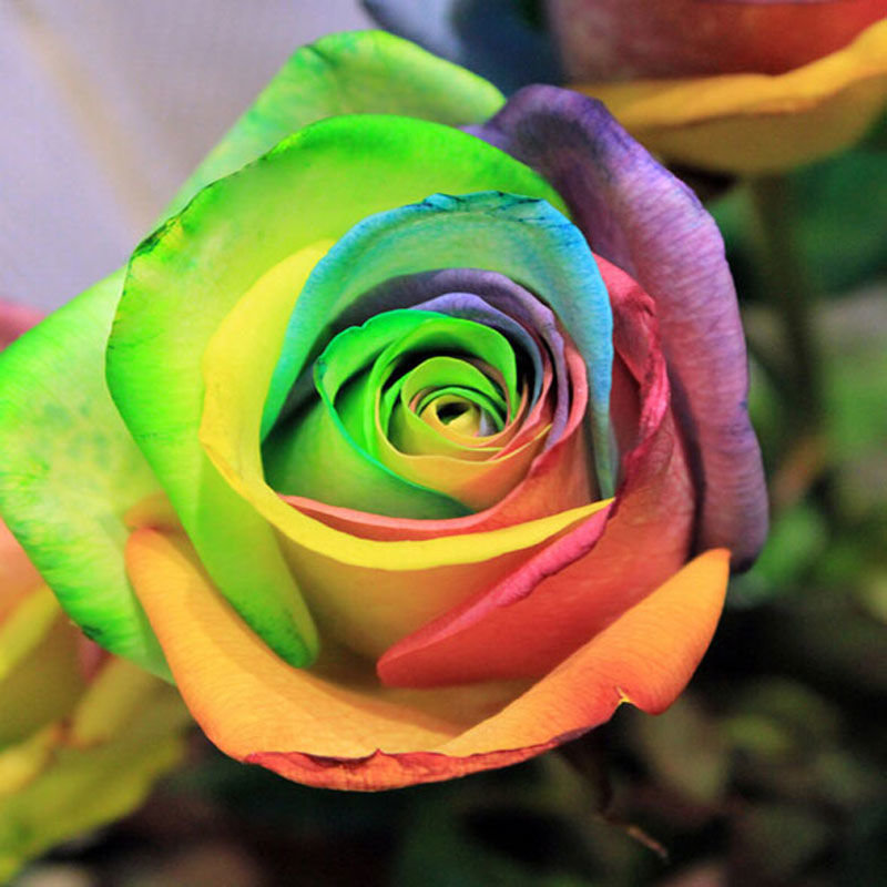 это фотография цветная роза праздник энергетиков поздравить
