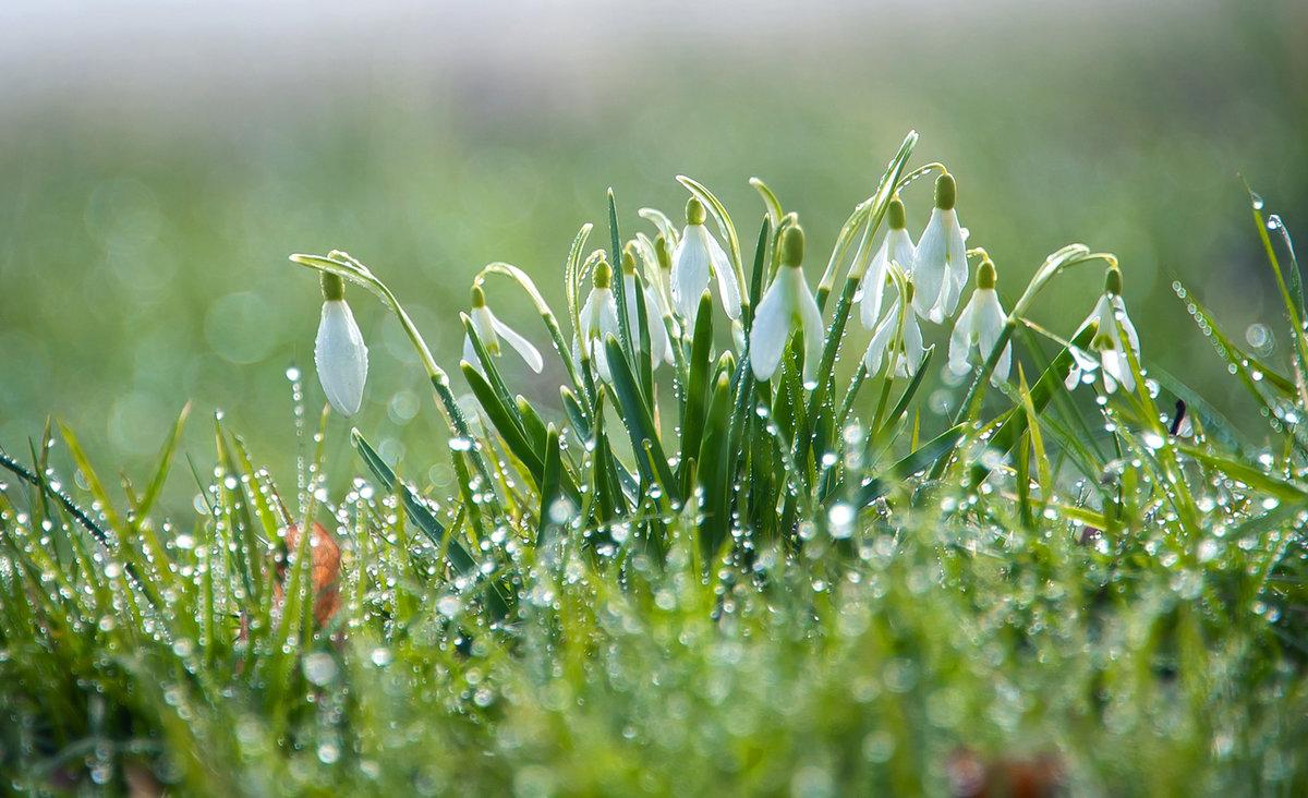 Фотообои на рабочий стол весна подснежники