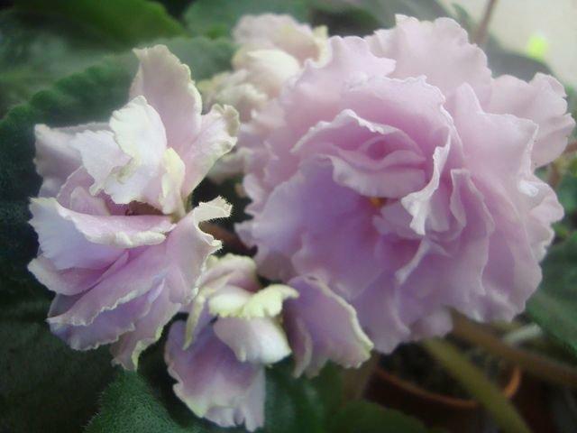 Крыжовник розовый описание сорта фото добро