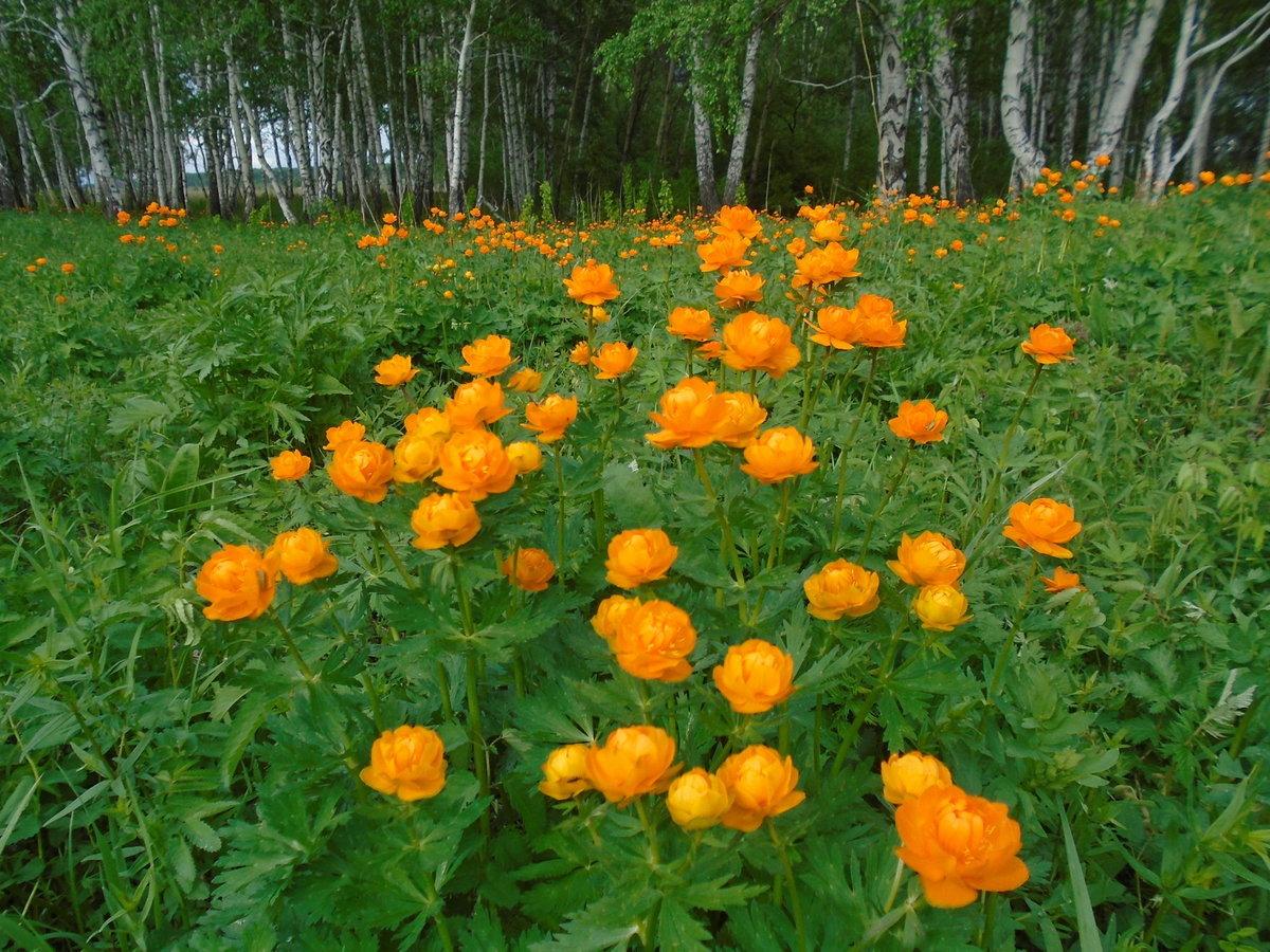 сердце цветы жарки сибирские фото смутил
