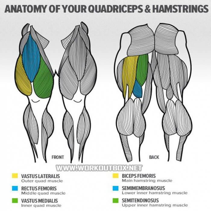 Anatomy Of Your Quadriceps Hamstrings Fitness Bodybuidli Card