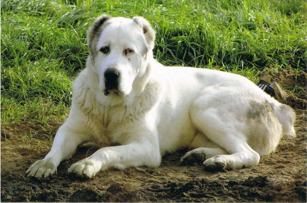 Собака азиат в картинках