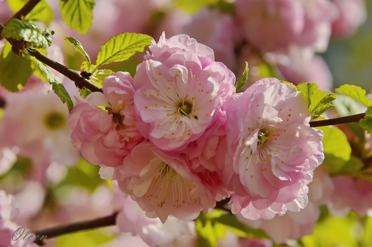 Где купить миндаль цветы