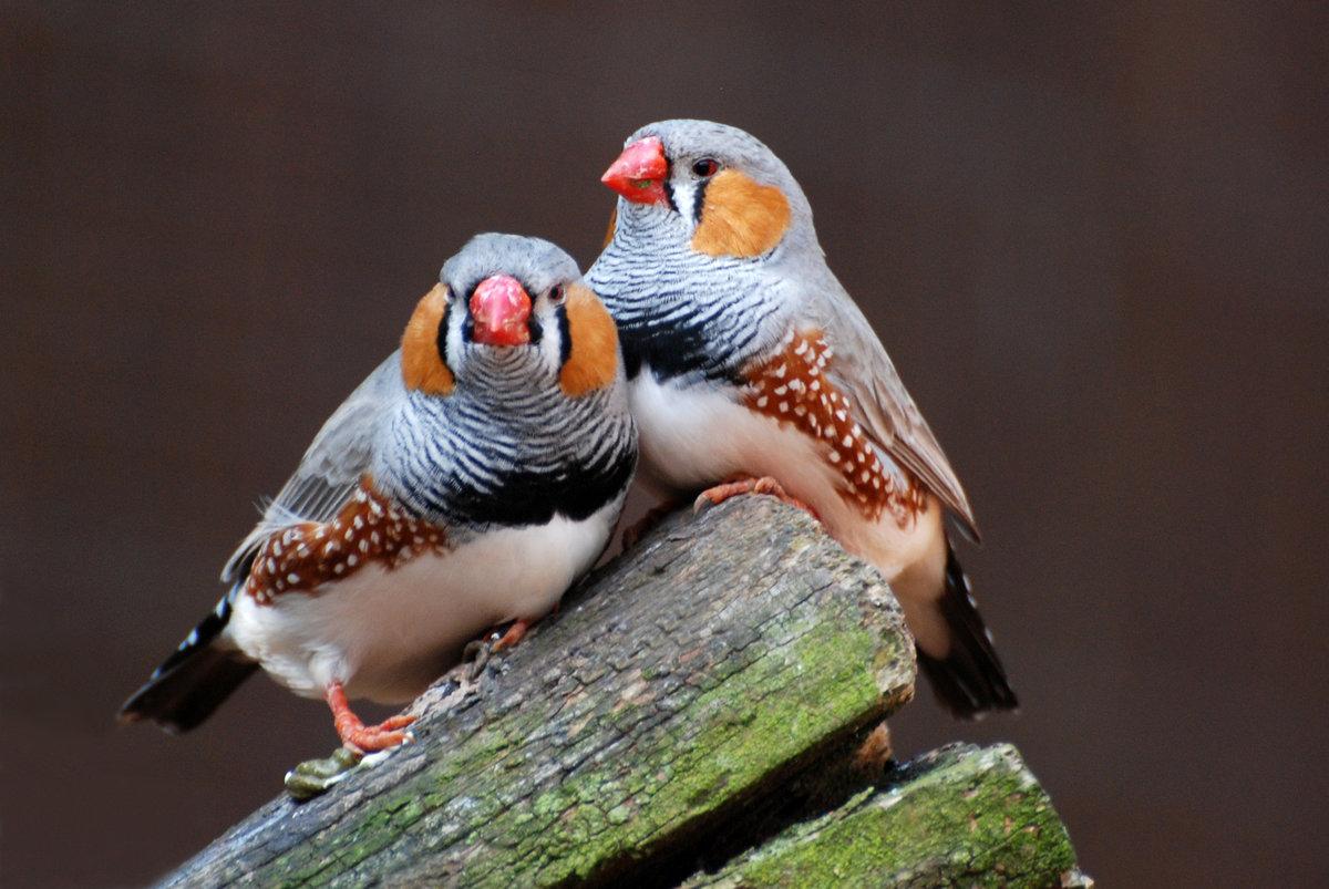 первое, картинки птички амадин увлекательных снимков, которые